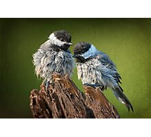 All fluffed up and nowhere to go! Photographic Print
