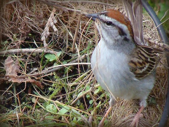The Sparrow by vigor