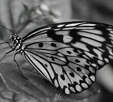 Paperwhite Butterfly   by Tracey Hampton