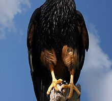 Caracara in the Clouds by Mark Hughes