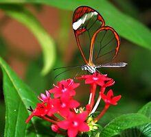 Flower Glasswing - Greta Oto by Lepidoptera