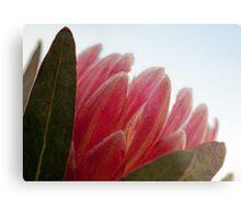 Protea In the Light Metal Print