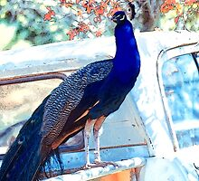 The Peacock and the Pickup by Doreen Erhardt