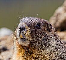 It's Marmot Season by Jay Ryser