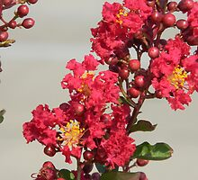 Crepe Myrtle Blooms With Stamen by Navigator
