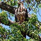 A Juvenile Bald Eagle by barnsis