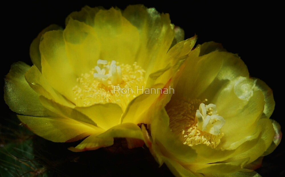 Yellow Cactus Flower by Ron Hannah