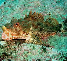 Scorpion Rock Cod by Paul Duckett