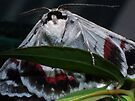 Red-lined Geometrid, Crypsiphona ocultaria Moth by Gabrielle  Lees
