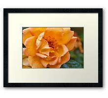 Rose in the rain Framed Print