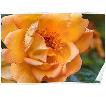 Rose in the rain Poster