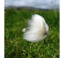 Cotton Grass in the Wind Photographic Print