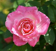 Pretty in Pink by dilouise