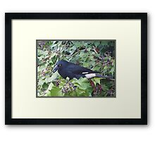 Pied Currawong. Framed Print