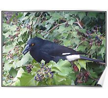 Pied Currawong. Poster
