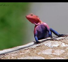 AGAMA LIZARD (Rock Formation) by NASEEM SULEMAN