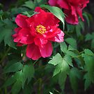 Chinese herbaceous peony by nicolaMY