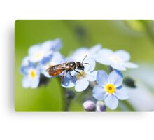 Halictidae Bee on Forget-Me-Nots Canvas Print