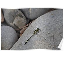 Dragonfly on a Rock. Poster