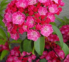 pink mountain laurel by dedmanshootn