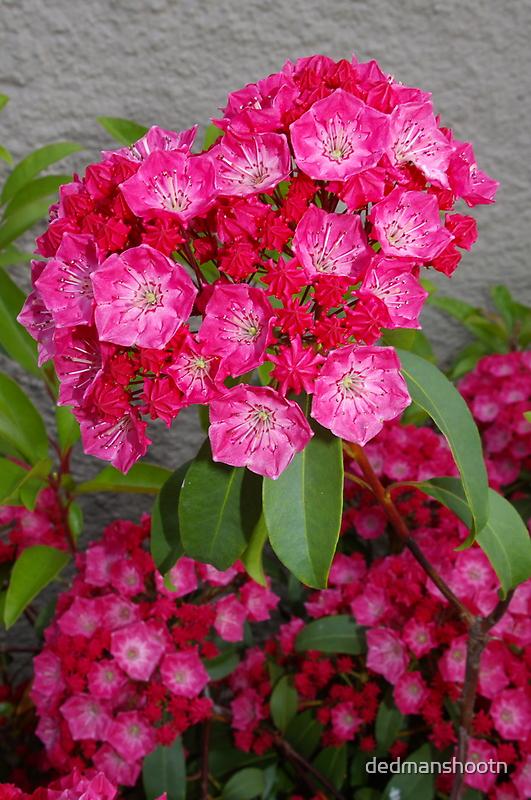 pink mountain laurel by dedmanshootn