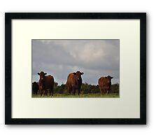 Local cattle Framed Print