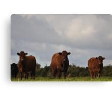 Local cattle Canvas Print