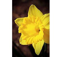 Shining Daffodil Photographic Print