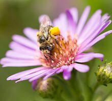 Cute bee on an Aster by Annora Ayer