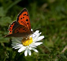 Small Copper by KWTImages