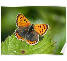 Small Copper full on Poster