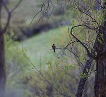 Western Wood-Pewee perched on branch by c painter