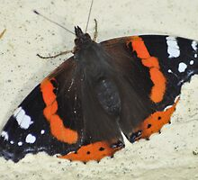 Red Admiral in a Cornish garden by DebCornish