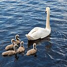 Swan Family by Pauline Tims