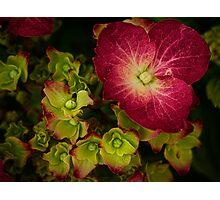 Deep magenta hydrangea Photographic Print
