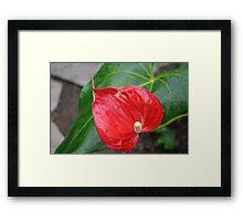 Red Heart Shaped Anthurium and leaf Framed Print