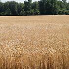 Golden Fields of Grain by WeeZie