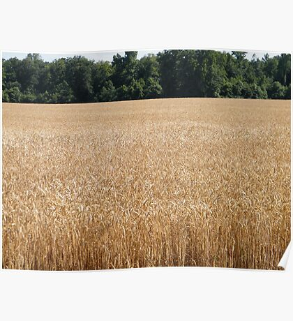 Golden Fields of Grain Poster