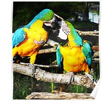 Fighting Parrots Poster
