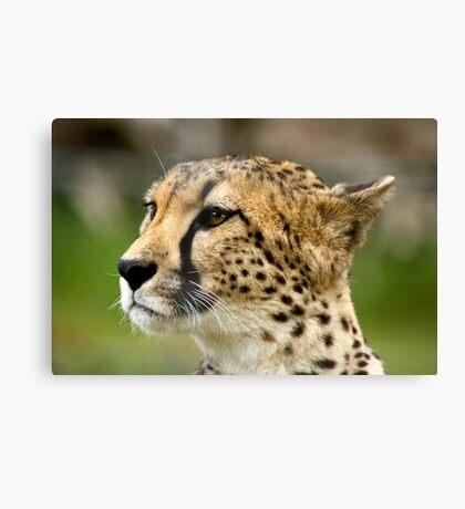 Cheetah looking for prey Canvas Print