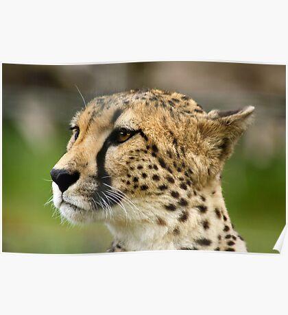 Cheetah looking for prey Poster