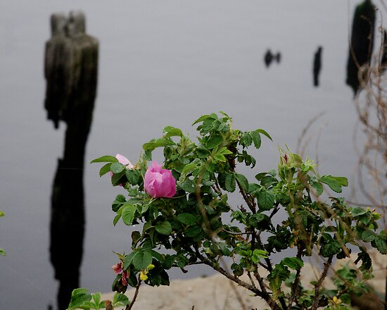 Beach Rose by Barry Doherty
