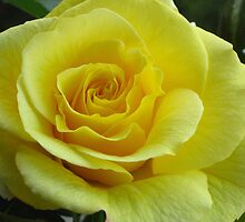 Yellow  rose by Maria1606