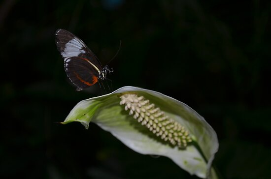 Butterfly on a White Anthurium Flower by Paula Betz