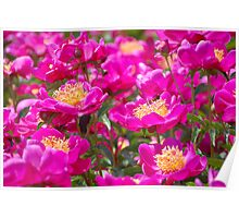 An Ocean Full of Peonies II Poster