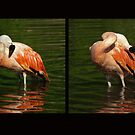 Scratch front, scratch back - Bathing flamingo by steppeland