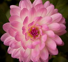 Pink Dahlia by Craig Higson-Smith