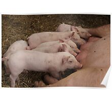 Hungry Piglets  Poster