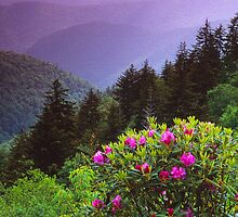 RHODODENDRON,BLUERIDGE PARKWAY by Chuck Wickham