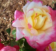Tri-Color Roses by Virginia Shutters